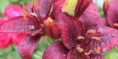 Прекрасной лилии цветок
