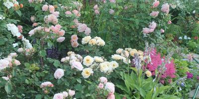 Королевы моих цветников-2