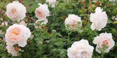 Любимая роза Crosus Rose (Крокус Роуз)