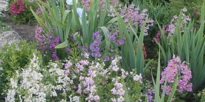 Схизантус или орхидея бедняка