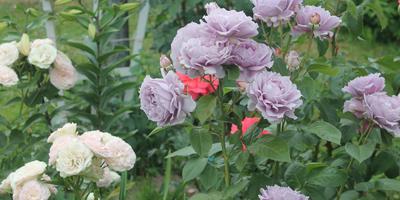 Королевы моих цветников. Продолжение