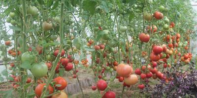 Парад самых любимых сортов томатов 2018