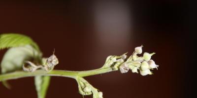 Что происходит с кустом малины?