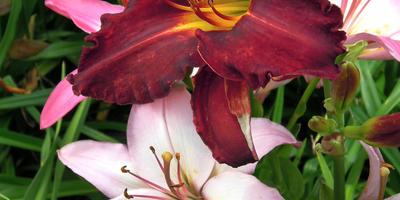 Зацвели ароматные лилии и лилейники. Приглашаю посмотреть