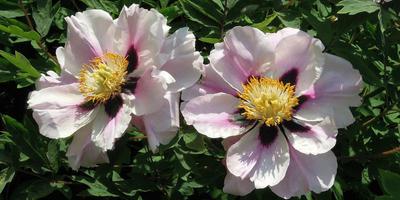 Особенности выращивания древовидных пионов в средней полосе
