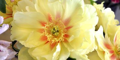 Цветение и краткая агротехника Ито-пионов
