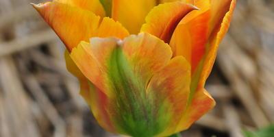 Мои зеленоцветковые тюльпаны