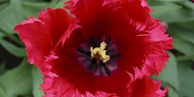 Мои любимые бахромчатые тюльпаны