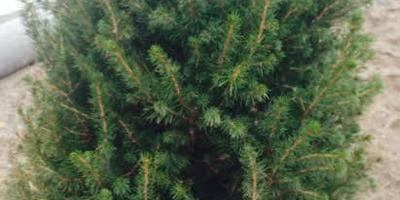 Хвоя на нижних веточках канадской ели стала коричневой. Что делать?