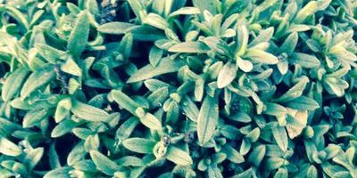 Помогите определить почвопокровное растение
