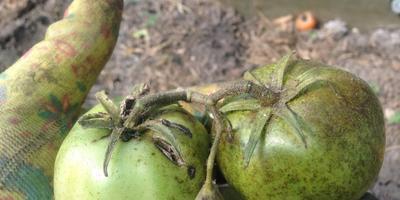 Помогите определить заболевание помидоров по фото