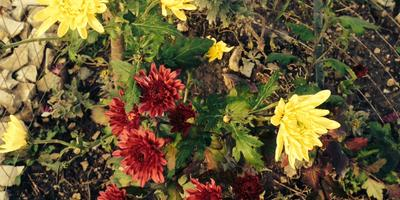 По какой причине пропали хризантемы?