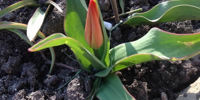 Цветы марта. Ботанические тюльпаны и ... прочие луковичные