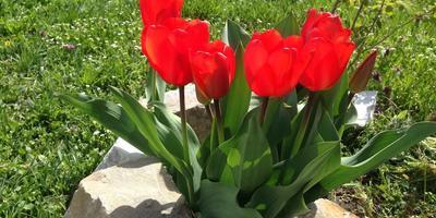 Цветы апреля. Его Высочество Тюльпан