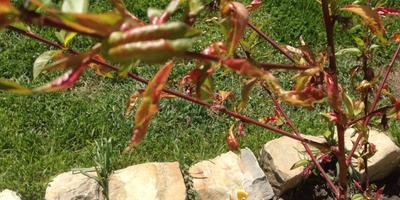 Что предпринять при курчавости листьев у персиков?