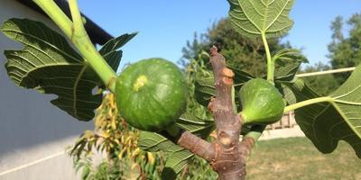 Моя «мулатка-шоколадка», или Рассказ о том, как в моем саду поселилась смоква Nero