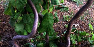 Конторта - экзотическая форма лещины обыкновенной