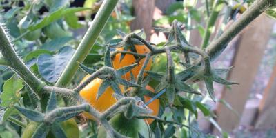 Мини-томатики Золотая кисть - гирлянда лампочек на ветке