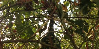 Гусь в яблоках на ветках, или Как вырастить и не потерять лагенарию