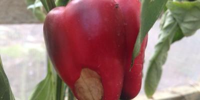 Чем болеют перцы и что нужно делать?