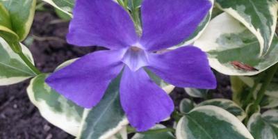 Большой барвинок «Variegata». Цветок из моего детства