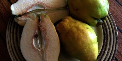 Айва - упоительный аромат в осеннем саду и неповторимый вкус на вашем  столе. Сорт Кубанская урожайная