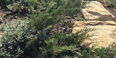 Такие разные можжевельники. Можжевельник казацкий 'Тамарисцифолия' (Tamariscifolia)