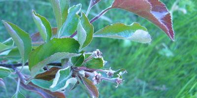 Что могло повлиять на отсутствие завязей у яблони?