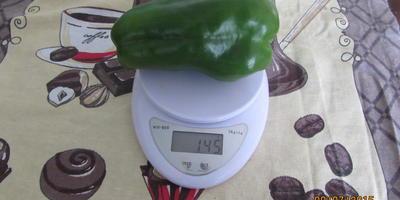 """Севооборот, правильный выбор семян, своевременный уход и вуаля - рекордсмен есть у меня! Перец """"Червонец"""", 241 грамм!"""