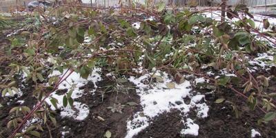 Ежевика под зиму и ещё пара вопросов...