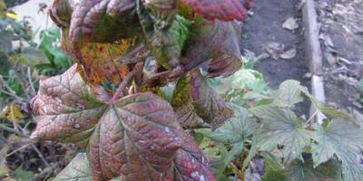 На черной смородине свёрнуты вершины побегов, коричневые пятна на листьях. Что можно сделать?