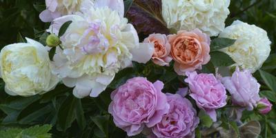 Отцветают белые пионы, зацветают английские парковые розы. Даже кошечку привлек аромат.