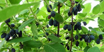 Секреты выращивания крупной и сладкой жимолости