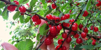 Секреты войлочной вишни на Северо-Западе