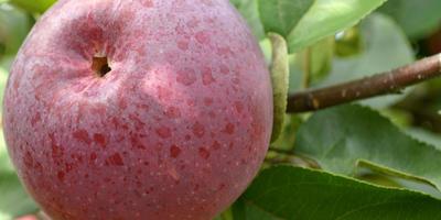 Яблони новых поздних сортов в моем северном саду