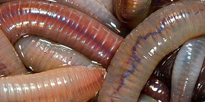 Дождевые черви, калифорнийские черви: нужны ли они на наших грядках?