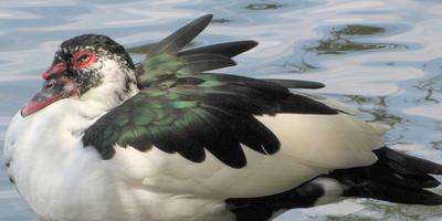 Мускусные утки на приусадебном участке