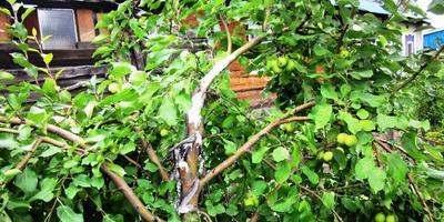 Как спасти сломанное дерево ранета?