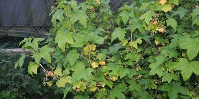 Почему у черной смородины в середине июня стали желтеть листья?