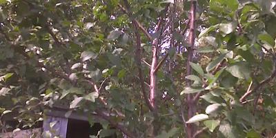 Какое это дерево?