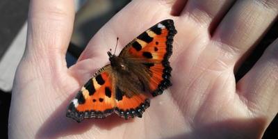 Про бабочку Крапивницу