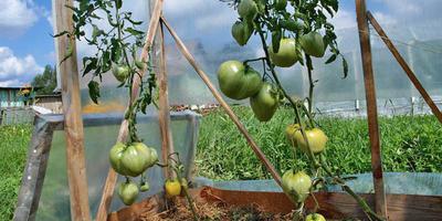 Чтобы томаты дозрели