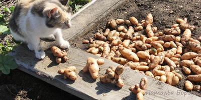 Досрочная уборка огорода