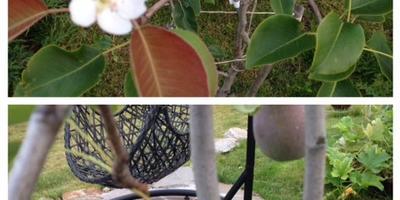 Аномальное цветение груши! Что делать?