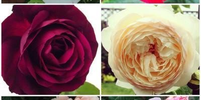 Мои розы. Обрезка, уход