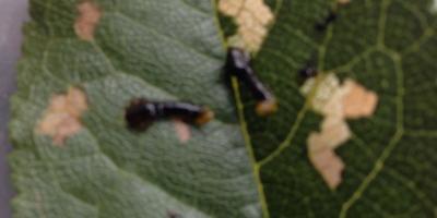 Кто это на листьях вишни? Что это? И как с этим бороться?