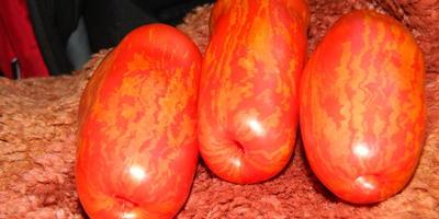 Что за сорт помидора?