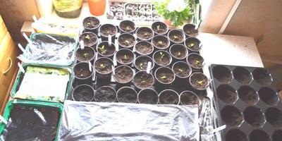 Насколько раньше можно заняться рассадой, если организовать досвечивание?