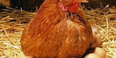 Какая порода кур-несушек подойдет для куриного дилетанта?