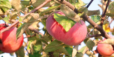 Помогите определить сорт яблони